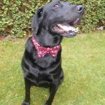 Handmade exclusively for Lady haigs Poppy Factory on sale at 9 warriston road edinburgh eh7 4hj, Poppy Print Bow Tie for Dogs in sizes Small, Medium and Large