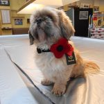 Handmade Harris Tweed Poppy Dog Collars on sale at Lady Haig's Poppy Factory in Warriston road Edinburgh EH7 4HJ
