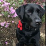 hand made harris tweed poppy collars for dogs on sale at lady haig's poppy factory in edinburgh