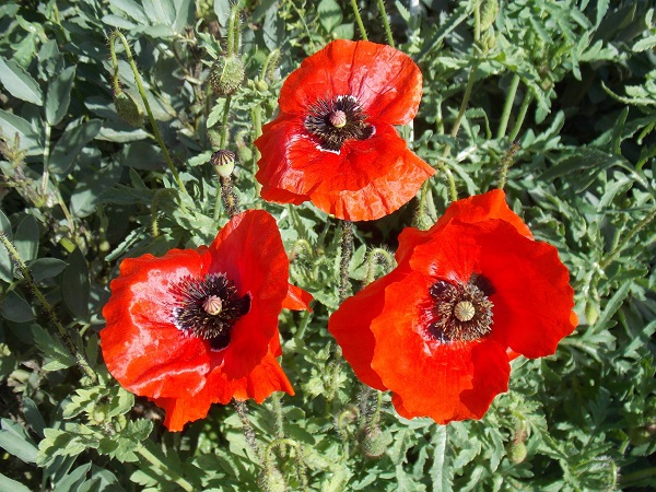 Photograph of 3 poppies growing side by side