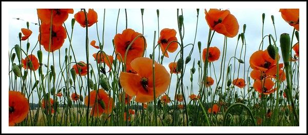 Poppies taken by Amanda Shiela Little in Turriff Aberdeenshire