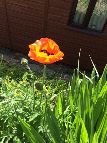 Sunshine at Soon Hope Chalets and a beautiful poppy