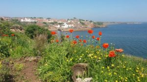 Photograph of poppies growing y Christine Evans Entry looking from Crail along the Fife coastal path