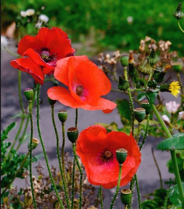 Post a poppy pic