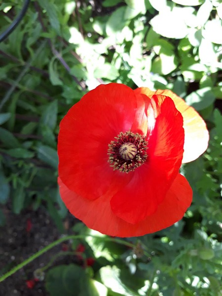 Poppies,Competition, Factory, Summertime