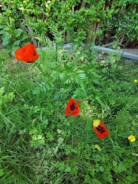 Poppies,Garden, Competition,Fabulous,Red