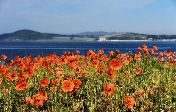 Poppies,Seaview,Blue,Skies,Red,Competition