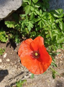 Post A Poppy Pic 2019