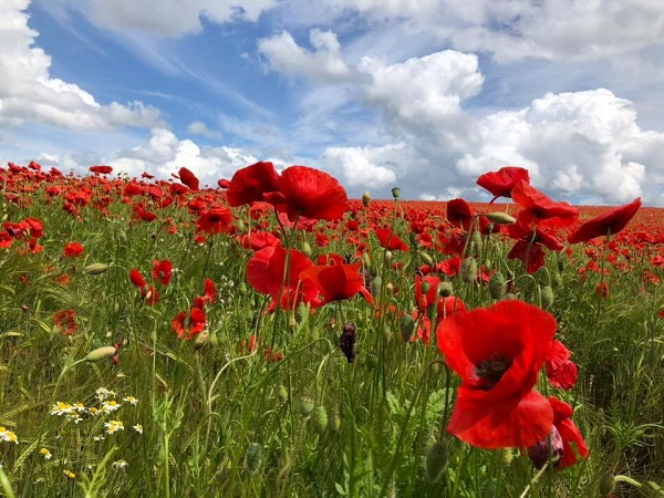 Poppies, Clouds, Blue, Sky