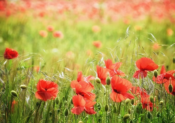 Poppies, Field, Red, Competition
