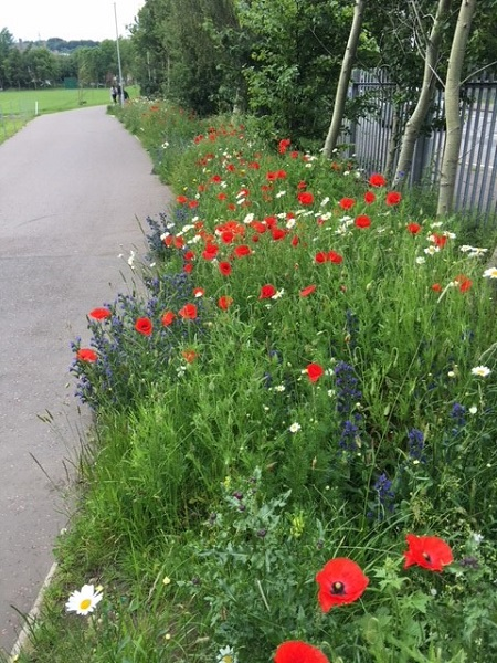 Poppies, Daisy, Saughton, Park, Edinburgh