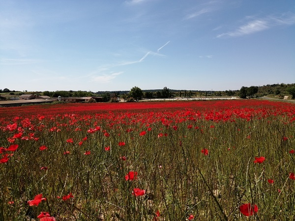 Poppies, France, Cressan, Summer