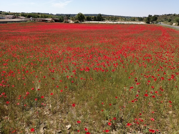 Poppies, Fields, Summer, Sky
