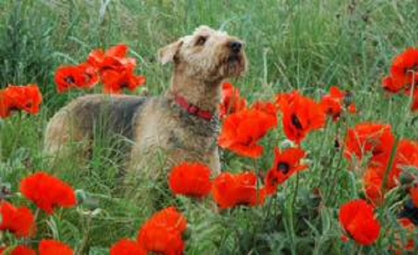 Poppies, Field, Dog