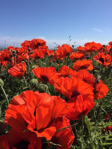 Red, Poppies, Blue, Sky